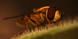 Resting Hover Fly by spitfire900