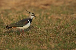... my first lapwing 2014... by Ulliart