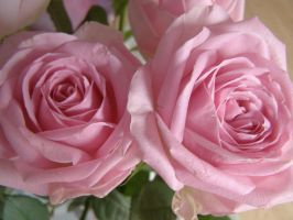 Roses 072 by 3pinkrosegardens