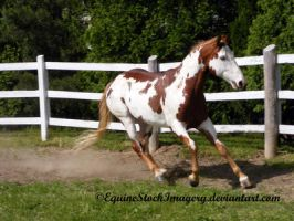 Paint Horse 32 by EquineStockImagery