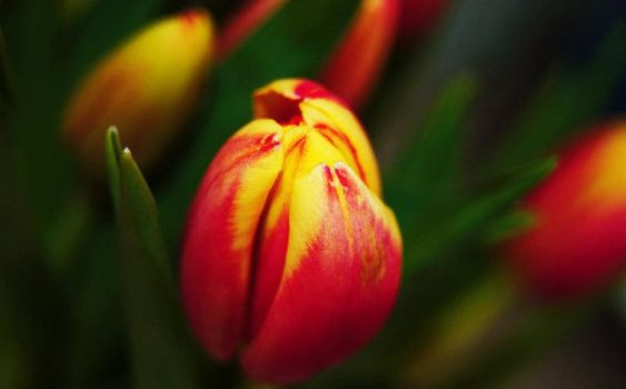 Tulip by CarrieHaworth