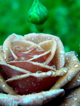 Rose. by Ofemid