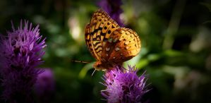 Butterfly by Photolover68