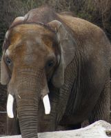 Hogle Zoo - Elephant by LycanDID