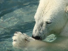 Mmm, dragonfly - Polar Bear by roamingtigress