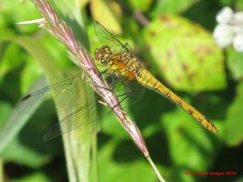 Ruddy Darter (female) by Terrydunk