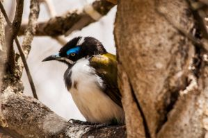 Blue Faced Honeyeater by DanielleMiner