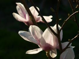 Magnolia 04 by botanystock