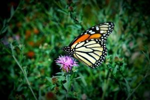 butterfly by racing-kites