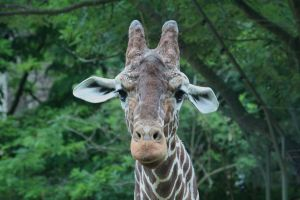 portrait giraffe by ingeline-art