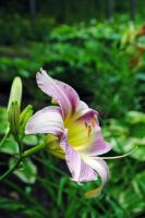 Day lilly 4 by LucieG-Stock