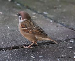 Sparrow  /  Spatz 6 by bluesgrass