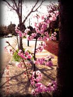 Cherry Blossom 4 by this-is-the-life2905