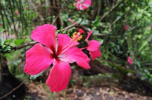 Hawai'i Hibiscus by Mintakawolven