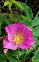 Wild Rose by PamplemousseCeil