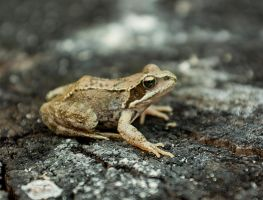 Frog 2 by SacMPhoto