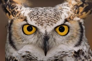 Great Horned Owl - Captive 2 by Merlinstouch