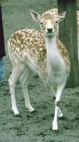 Spotted Deer by Collecting-Stocks