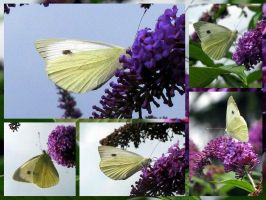 Cabbage white by MagicLolita