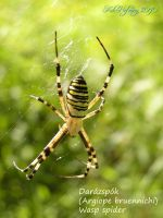 Wasp spider by KekPafrany