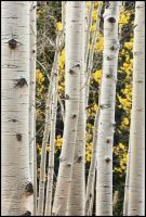 Aspen Closeup by kimjew