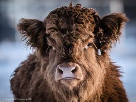 Highland -Calf by AndersStangl