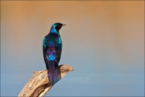 Starling on a Log by MrStickman