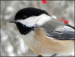 chickadee close-up by Lou-in-Canada