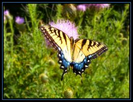 Tiger Swallowtail III by Anachronist84