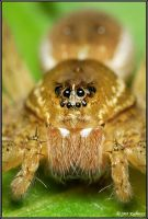 Dolomedes plantarius by Dark-Raptor