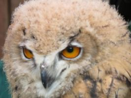 owl  its only a baby 2 by Sceptre63