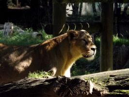 2014 - Asiatic lioness 17 by Lena-Panthera