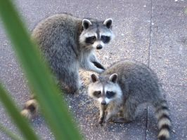 Raccoons by j999