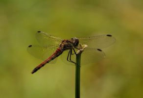 The Red Dragonfly of Nikko by AndySerrano