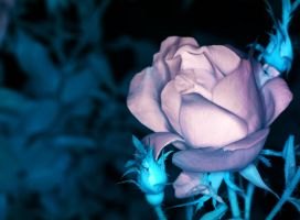 A rose in IR2 by twombold