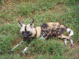 AfricanWildDogs2-Stock by SilkenWebs