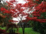 Japanese Maple Tree 1 by WhiteNeko-Chan