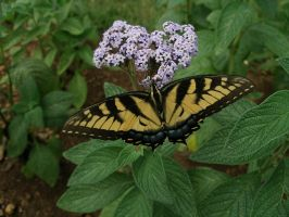 Swallow Tail by Sheppard56