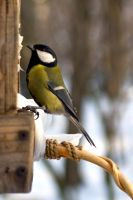 Blue tit by photo-exile