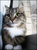 Foster Cat Kitty IV by CandaceIsVampire