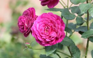 Floribunda Rose by CASPER1830