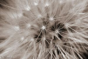Dandelion by Talkingdrum