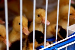 Caged Ducklings. by johnwaymont