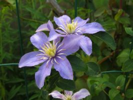 Purple clematis by Santian69