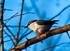 Nuthatch2 by PictureByPali
