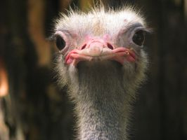 ostrich by donpaking