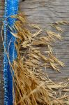 Wheat Stalks on plywood with a Strip of a Tarp by PAlisauskas