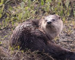 Otter IV by OnTheTrail