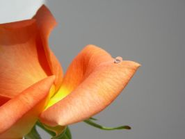 orange rose 1 by cosmopavonestock
