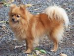 Pomeranian by faraf-stock-xx